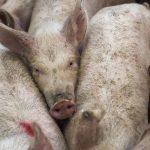 pigs-678199_1920