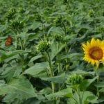 sunflower-4487647_1920